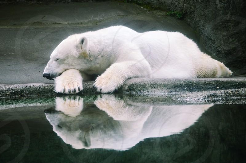 Polar bear reflection photo