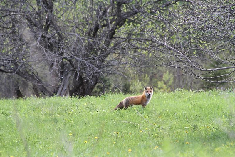 Fox orange summer field wildlife photo