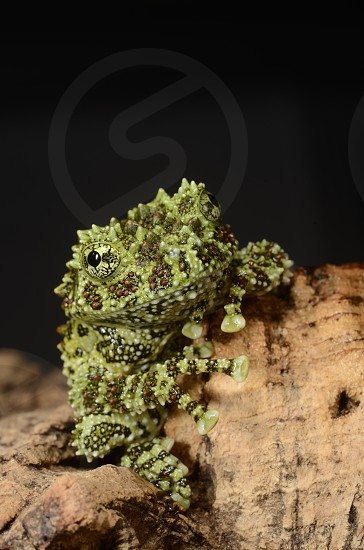 Vietnamese mossy frog (Theloderma corticale) a bizarre new species being bred in captivity for the pet / vivarium trade. photo