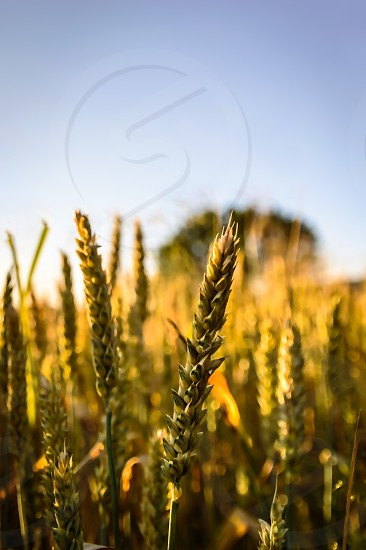 Wheat ready for harvest photo