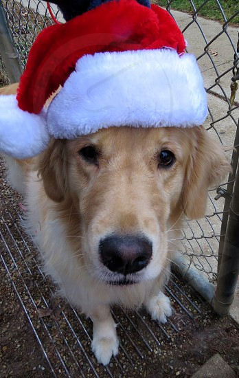 Pets with hats Golden Dogs Dog Training photo