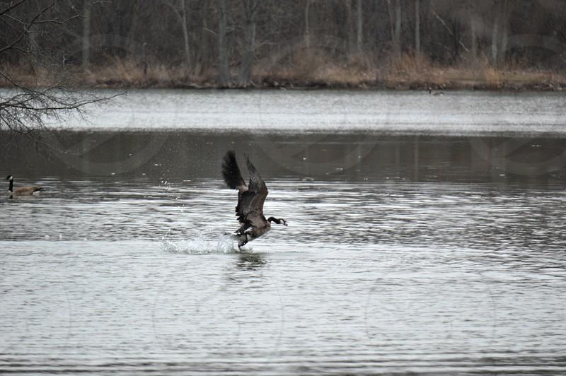 gray black and white bird landing on lake photo