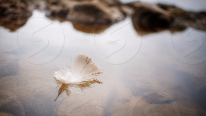 A floating feather on the surface of the water photo