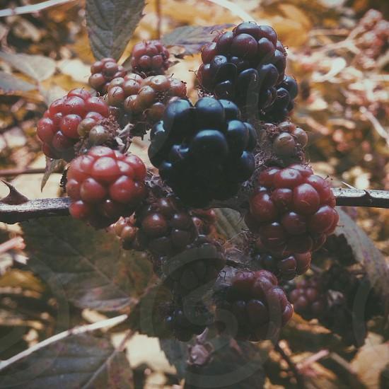 red raspberries and blackberries on brown branch photo