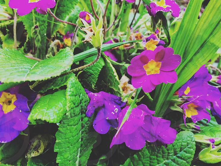 Colors-flower-euskalherria-violet photo