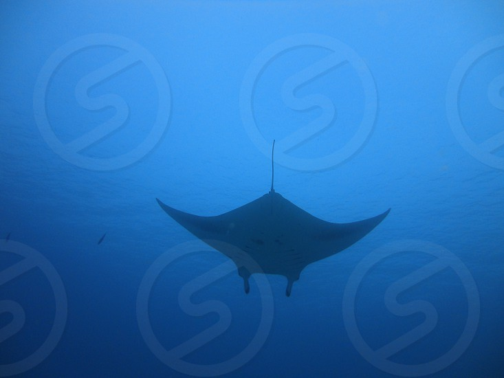 stingray fish marine life diving snorkelling ocean big blue sea water photo