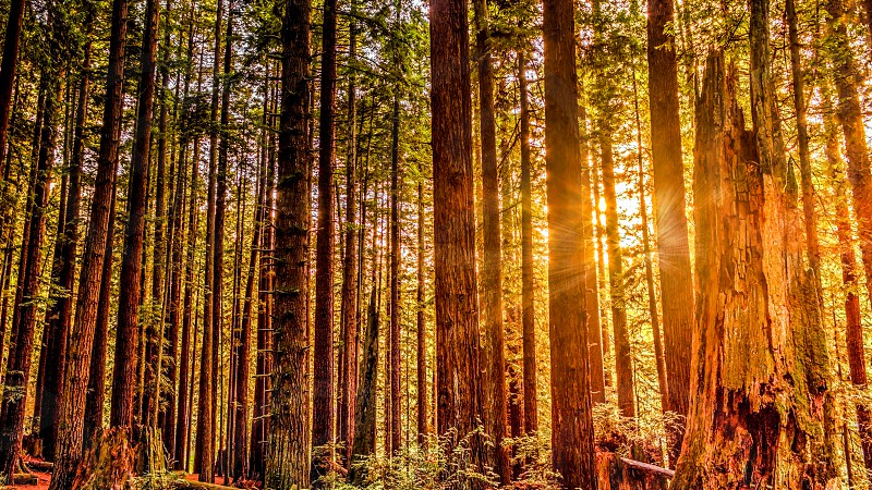 redwoods forest trees tree woods park national nature tall sequoia looking california up green giant usa redwoods wood plant landscape outdoor light horizontal sunlight hiking huge life beautiful forestry tourist background beauty giant sky old natural branch California Arcata Humboldt beauty nature photo