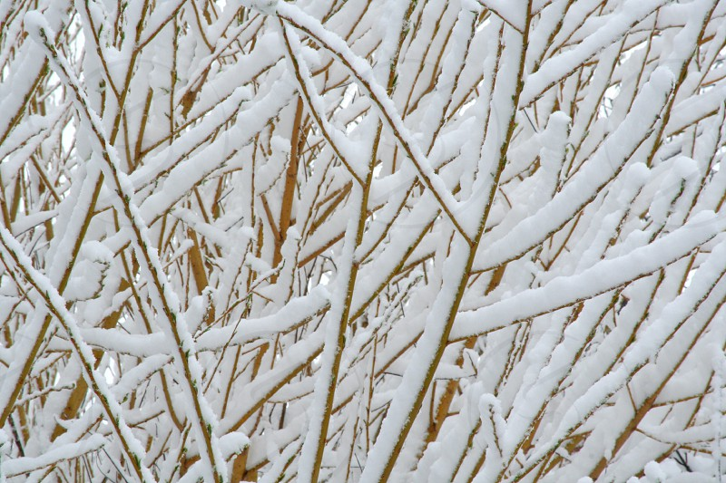 Snowy Branches photo