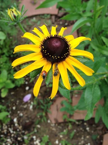 Black-Eyed Susan with Ladybug and Bee. photo