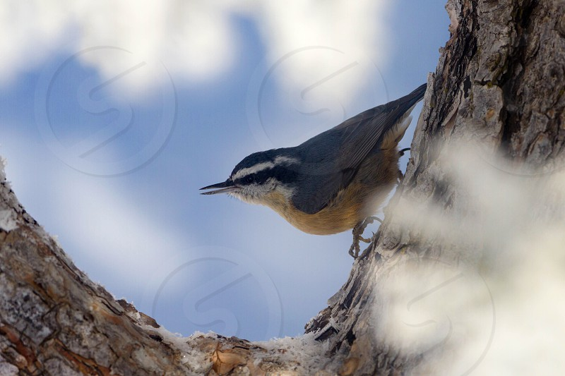 red breasted nuthatch  photo