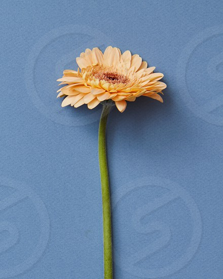 Orange gerbera flower on a blue background. Blooming concept. As a greeting card for Valentine's Day or Mother's Day photo