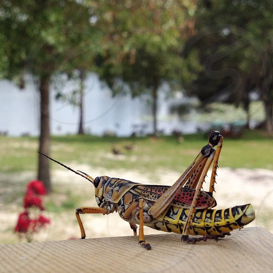 Eastern lubber grasshopper. One big insect. Interlachen Florida.  photo