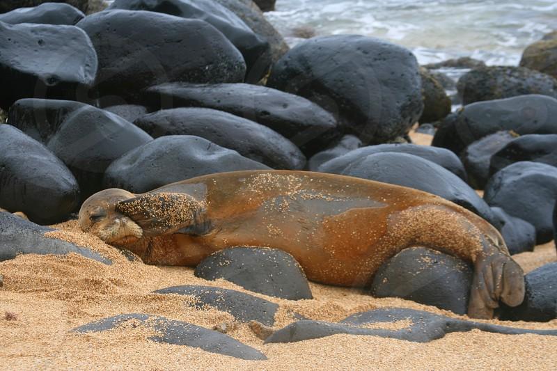 Peek-A-Boo Monk Seal. Rare seal shot on remote beach in Kauai. photo