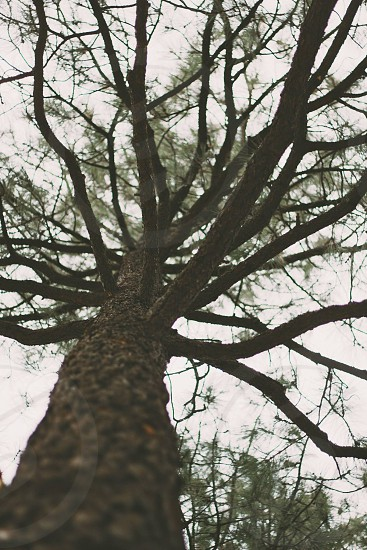 pine tree with a moody fill and an upward perspective photo