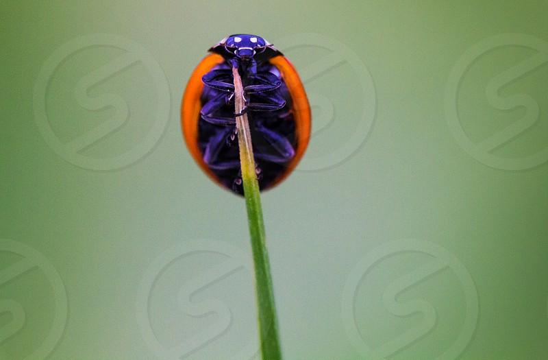 Beauty ladybug macro nature ladybug on a blade of grass photo