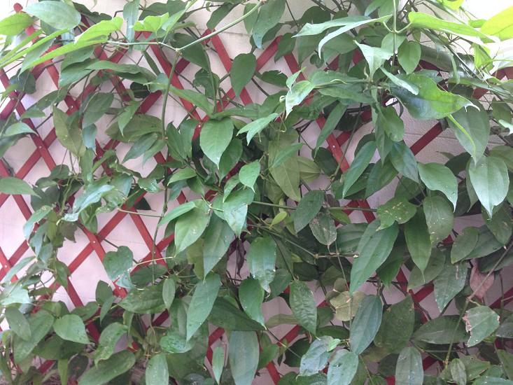 Wall of leaf  garden photo