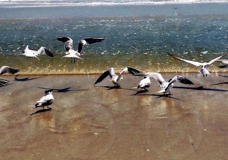 Skimmers take flight photo