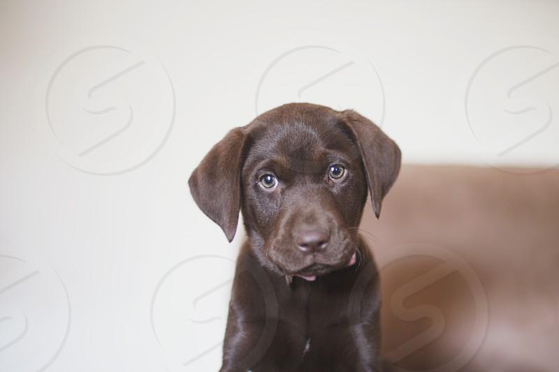 chocolate labrador retriever photo