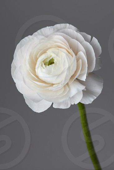 white ranunculus flower on a gray background valentines day concept photo
