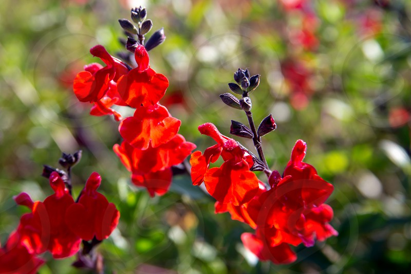 Beautiful red flower of Snapdragon Bunny rabbits or Antirrhinum Majus close up in the flower garden on sunny spring day photo