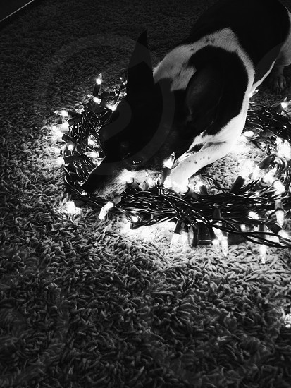 black and white dog shewing on christmas light decor photo