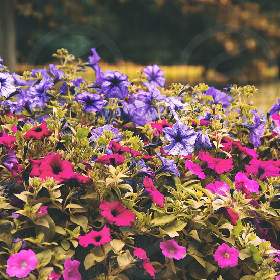 close up photo of purple morning glory and pink petunia photo
