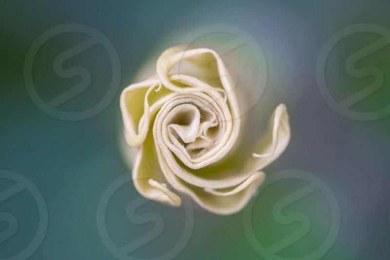 white flower bud photo