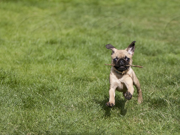 A Pug puppy with a stick in its mouth running on grass photo