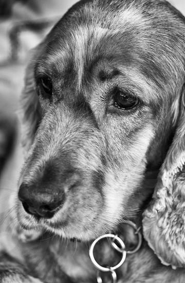 Hattie the Spaniel photo