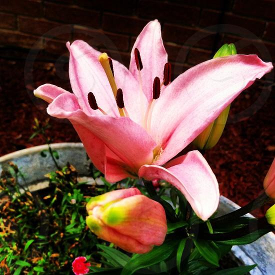 flower pink photo