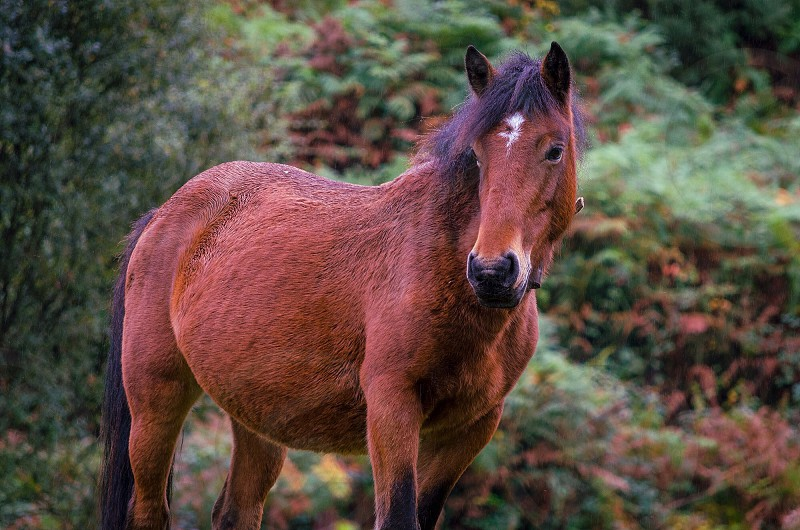 brown horse white spot on head with black mane photo