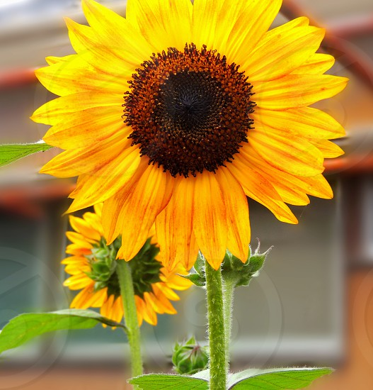 Sunflower flower spring flora nature yellow photo