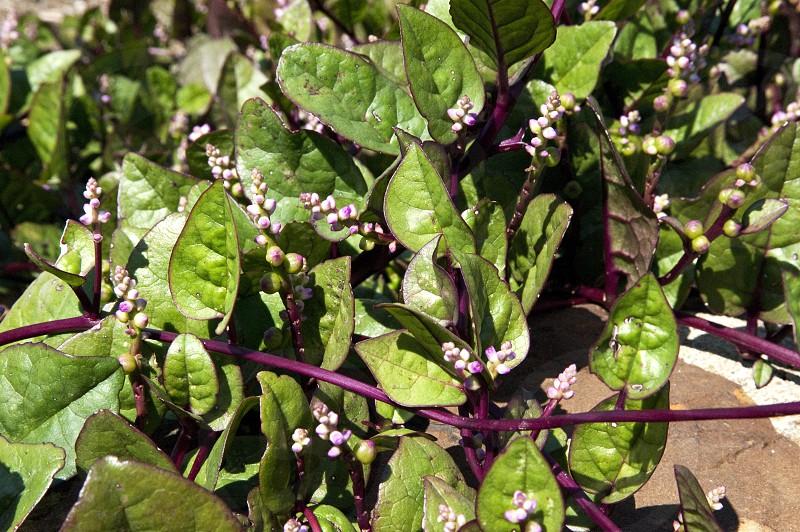 Malabar spinach plants photo