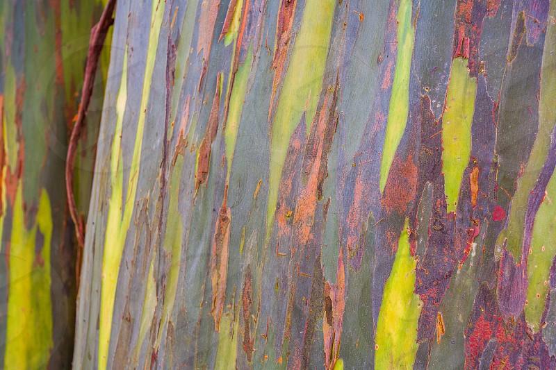 Rainbow cypress from costa rica photo