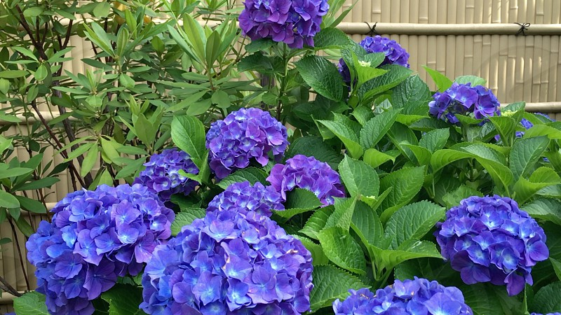 Japanese Hydrangeaor Japanese Annabelle. Japanese Hydrangeaor and Garden Fence of bamboo. Japanese Hydrangea inform the rainy season or June in Japan. photo