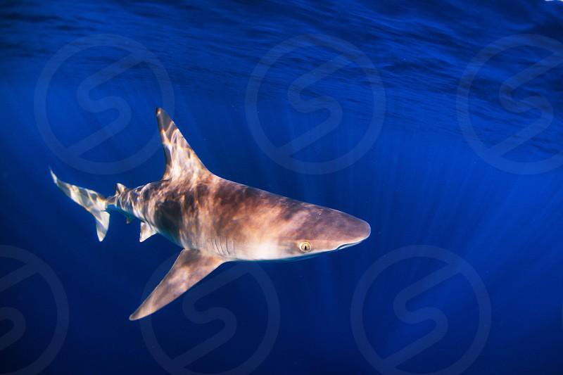 Sandbar shark of the North Shore of Oahu photo