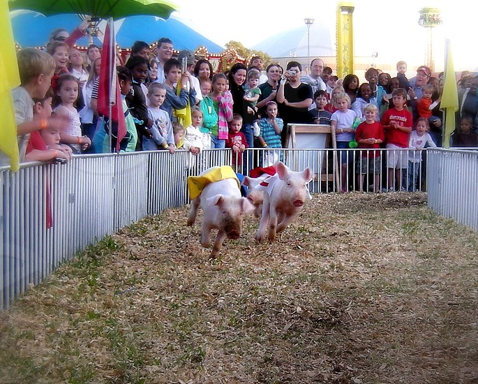 Pig races photo