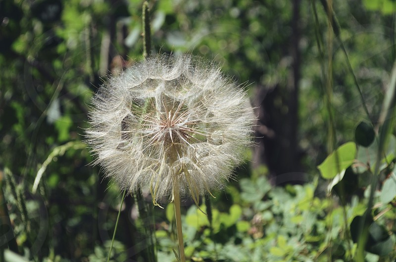 Nature dandelion  photo