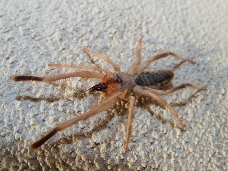 A macro photo of an Arizona Sun Spider. This creature is not a true spider. It is in the Arachnid family which includes Scorpions and Crabs. It does have the largest jaws relative to body size of any other animal in the world. photo