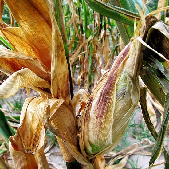 Corn on stalk photo