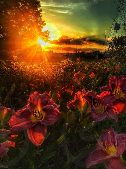 daylily garden sunset clouds nature beautiful scenery landscape flowers photo