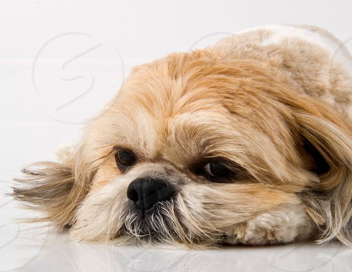 dog pet purebred Lhasa Apso photo