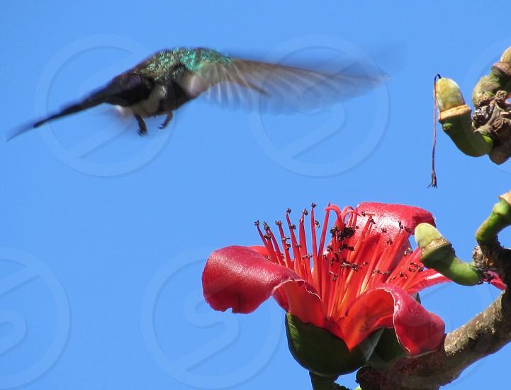 Speed hummingbird birdnatureanimal  photo