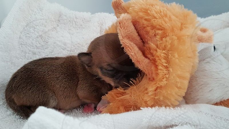 runt puppy sleeping dogs puppy and toy photo