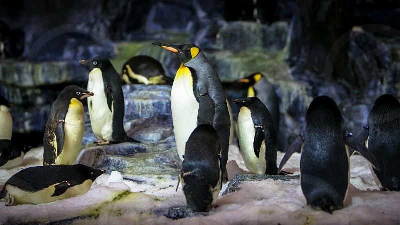 Pinguins photo
