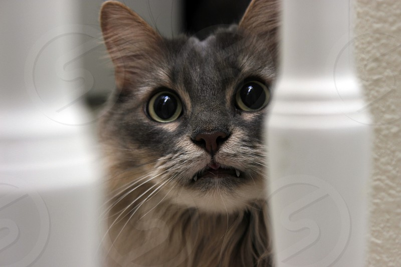 grey and brown cat photo
