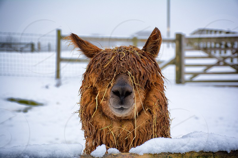 Brown Alapca in the snow. photo