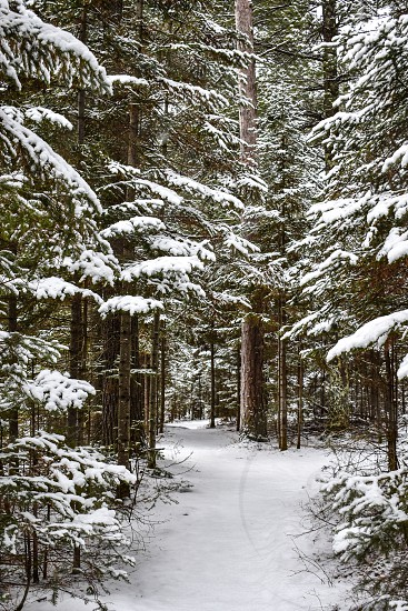 Walk in the snow covered pine forest photo