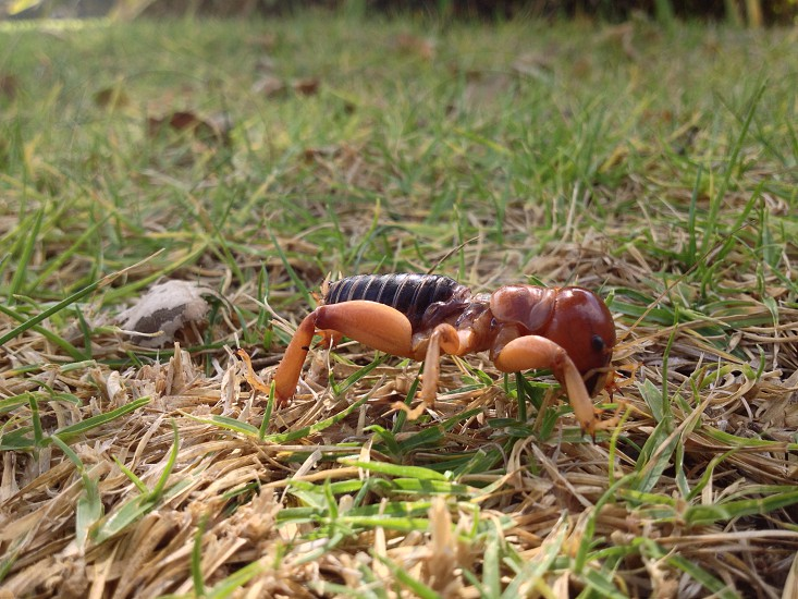 Found this Jerusalem Cricket in a water cup at a cemetery. It had drowned.  photo