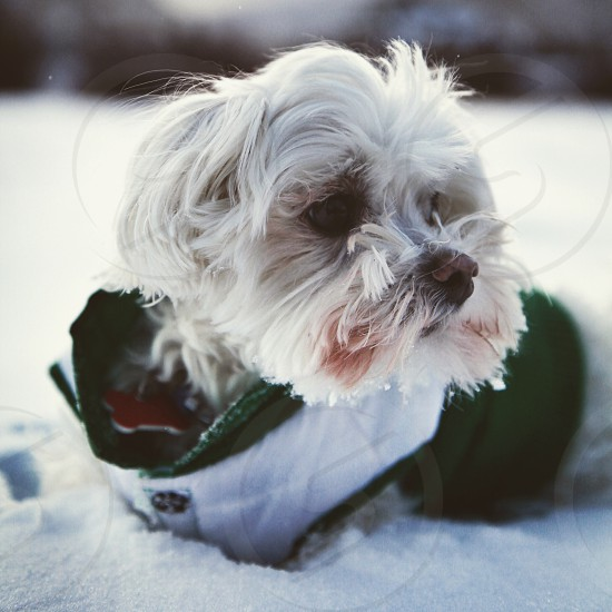 small white long haired dog in green and white jacket in snow photo